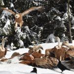 """Prijepolje: Udruženje """"Jadovnik – oaza netaknute prirode"""" već jedanaest godina hrani divlje životinje i retke ptice na ovoj planini"""
